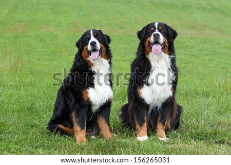 Portrait of two Bernese Mountain Dogs on meadow