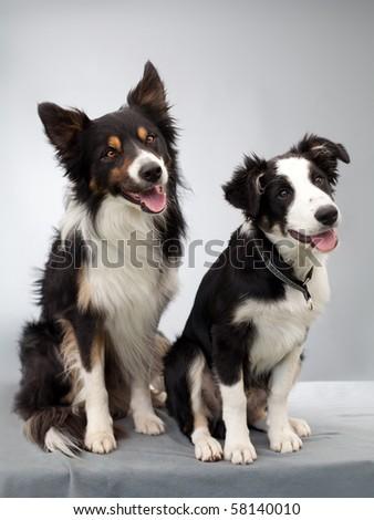 Portrait of two bordercollie - stock photo