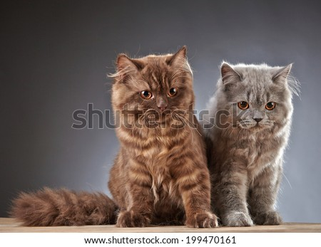 portrait of two british longhair kittens, 4 month old - stock photo