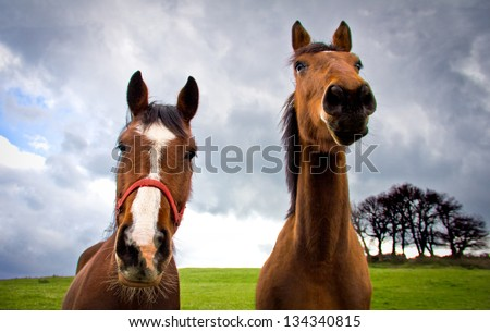 portrait of two brown horses - stock photo