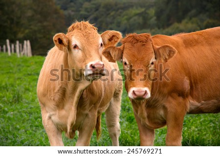 Portrait of two cows - stock photo