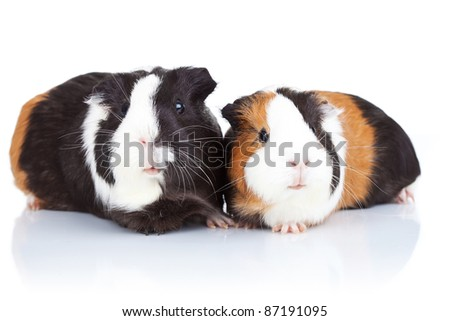 Portrait of two cute guinea pigs isolated - stock photo