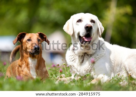 Portrait of two dogs playing in the meadow - stock photo