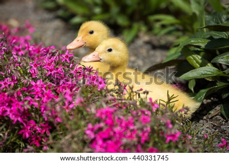 Portrait of two ducklings in the garden - stock photo