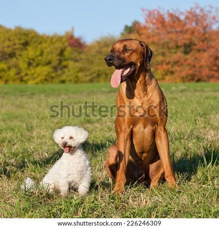Portrait of two friends - bichon and rhodesian ridgeback - stock photo