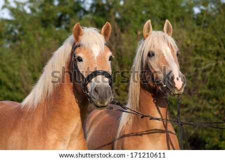 Portrait of two hallinger pony