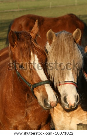 Portrait of two horses close together - stock photo