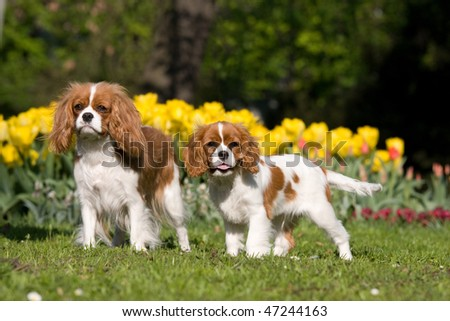 Portrait of two lovely Cavalier King Charles spaniel - stock photo