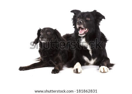 Portrait of two lying dogs - stock photo
