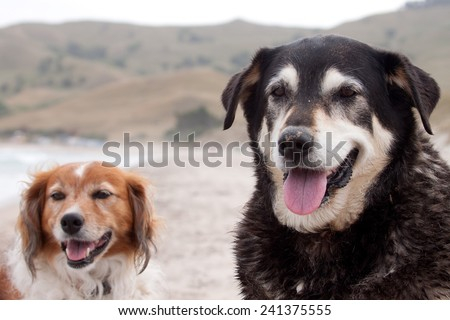 portrait of two New Zealand sheep dogs together at a beach