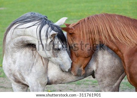 Portrait of two nice arabian horses