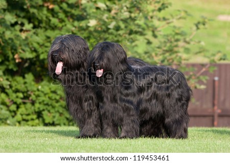 Portrait of two nice briard - stock photo