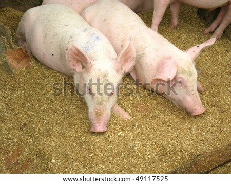 Portrait of two pigs - stock photo