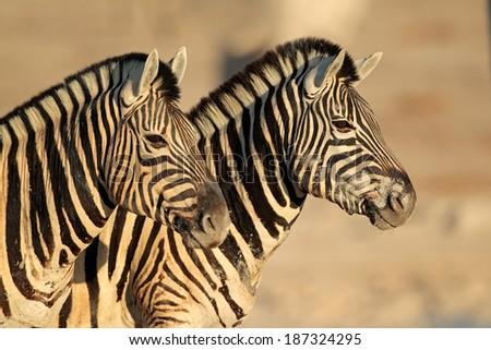 Portrait of two Plains (Burchells) Zebras (Equus burchelli), Etsosha National Park, Namibia - stock photo