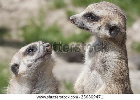 portrait of two watchful meerkat, South Africa - stock photo