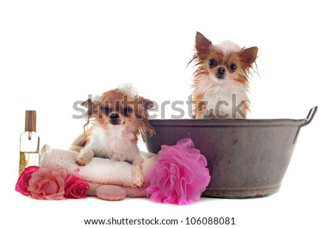 portrait of two wet purebred  chihuahuas in front of white background - stock photo