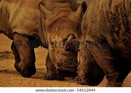Portrait of two white rhinoceros - stock photo