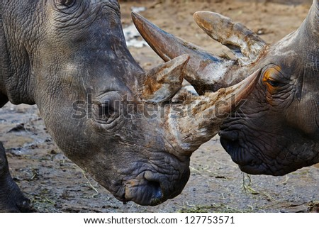 Portrait of two White Rhinos close together