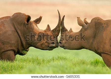 Portrait of two white (square-lipped) rhinoceros (Ceratotherium simum), South Africa - stock photo