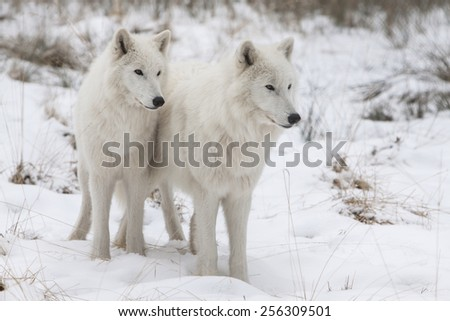 portrait of two white watchful arctic wolfs standing in the snow of  a winter forest - stock photo