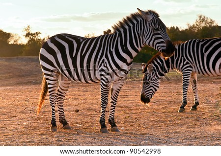 Portrait of two wild zebras .
