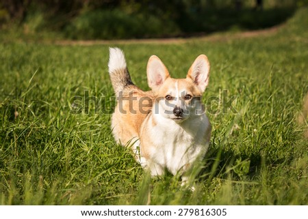 Portrait of welsh corgi dog going on a grass background