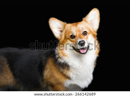 Portrait of Welsh Corgi Pembroke on black - stock photo