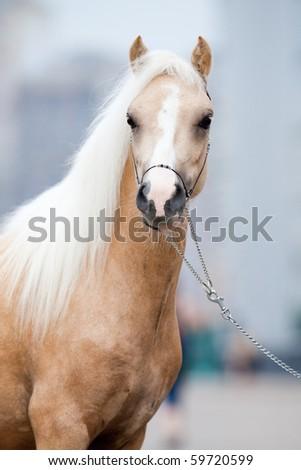Portrait of welsh pony - stock photo