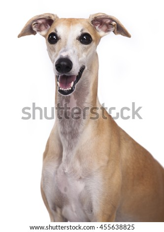 Portrait of Whippet dog - stock photo