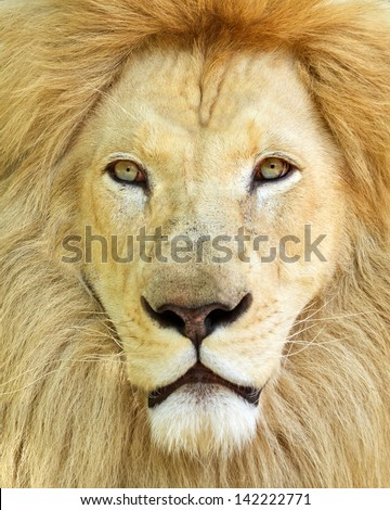 Portrait of white African male lion - stock photo