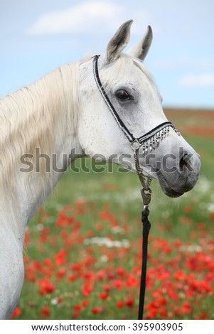 Portrait of white arabian mare in red poppy field looking at you - stock photo