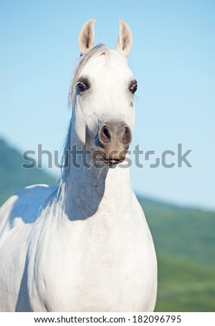 portrait of white arabian stallion