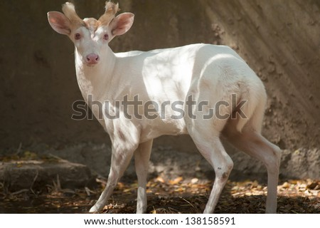 Portrait of white barking deer - stock photo