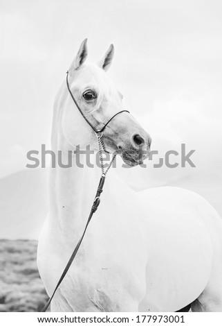portrait of white beautiful arabian stallion - stock photo