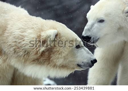 Portrait of white big animal polar bear with second blurred bear in bacgroun and snow flakes - stock photo