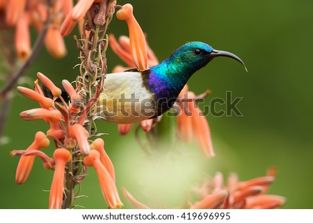 Portrait of White-breasted Sunbird, Cinnyris talatala, beautiful iridescent blue-green african bird feeding on nectar from aloe red flowers. Close-up wildlife photo. KwaZulu Natal, South Africa. - stock photo