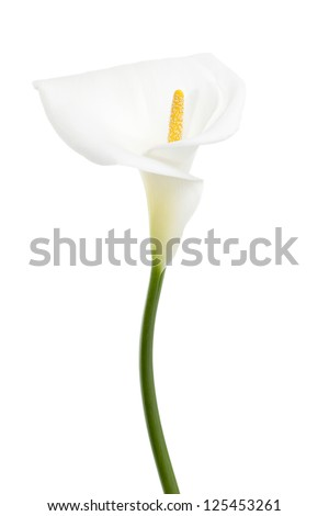 Portrait of white calla lily isolated on a white background - stock photo