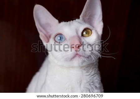 Portrait of white Cornish Rex Cat on Brown Background
