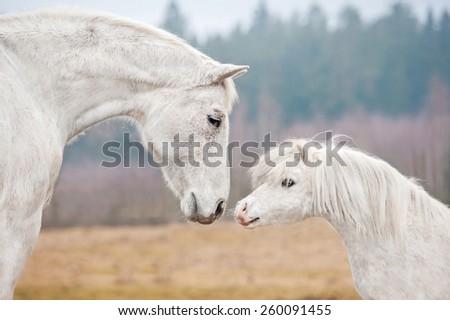 Portrait of white horse and white shetland pony  - stock photo