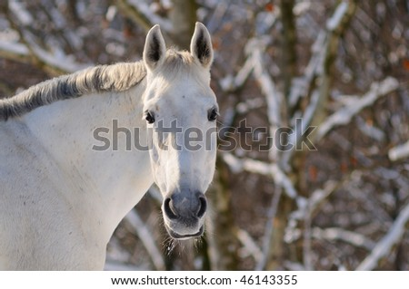 Portrait of white horse in winter forest