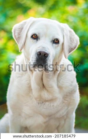 Portrait of white labrador retriever with beautiful eyes - stock photo