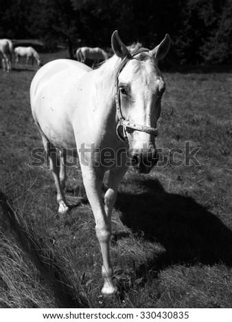 Portrait of white Lipizzaner stallion, Lipica, Slovenia - stock photo