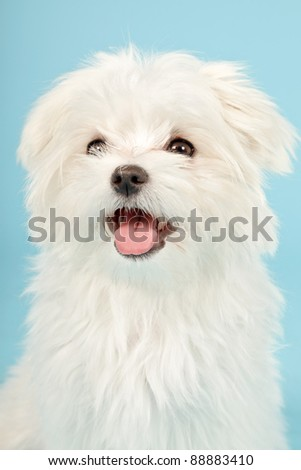 Portrait of white maltese dog isolated on light blue background - stock photo
