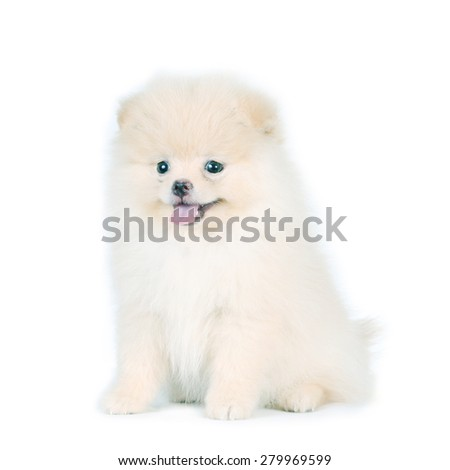 Portrait of white Pomeranian dog. - stock photo
