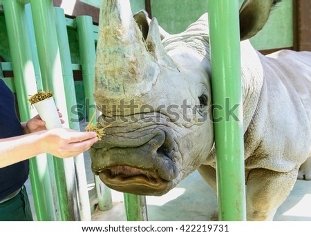 portrait of white rhino eating hay exotic animals in zoo
