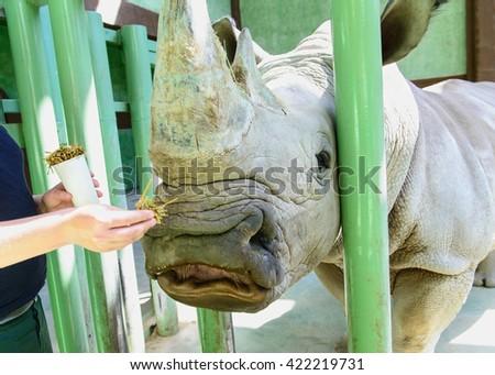 portrait of white rhino eating hay exotic animals in zoo - stock photo