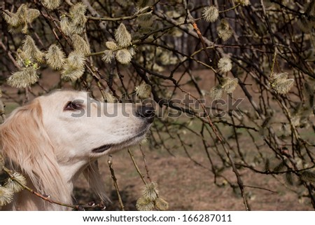 Portrait of white saluiki in willow flowers  - stock photo