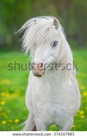 Portrait of white shetland pony with beautiful long mane - stock photo