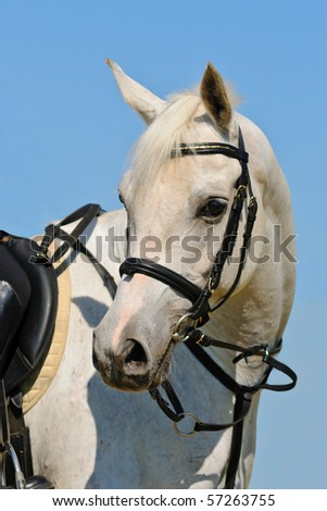 Portrait of white sportive arabian horse against blue sky - stock photo