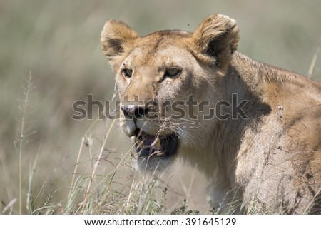 Portrait of wild african lion in its natural habitat - stock photo